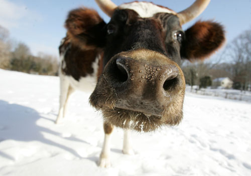 Cow in snow